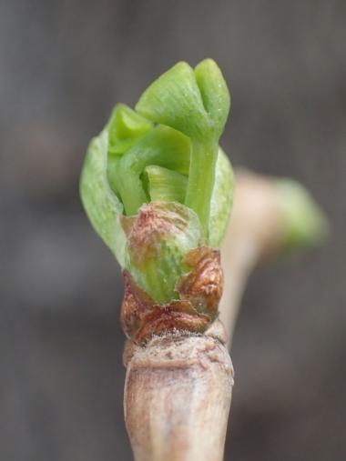 イチョウの芽吹き