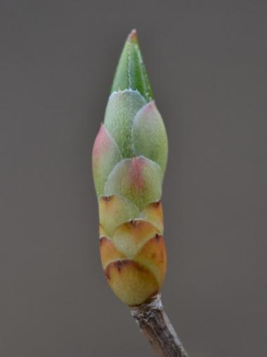 ドウダンツツジの芽吹き
