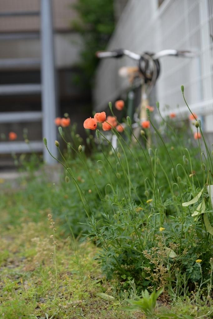 ナガミヒナゲシの花