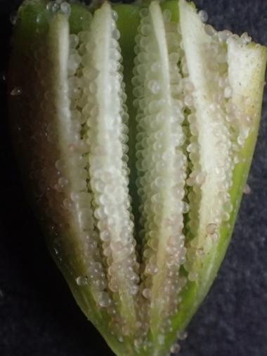 ナガミヒナゲシの種