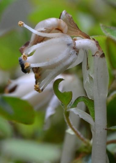 ギンリョウソウの花