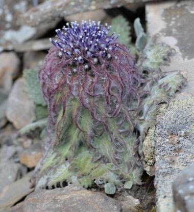 saussurea medusa 雪蓮花