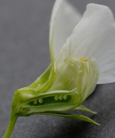 絹さやの花