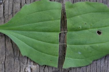 オオバコの葉