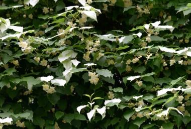 マタタビの葉と花