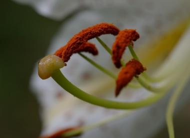 ヤマユリの花