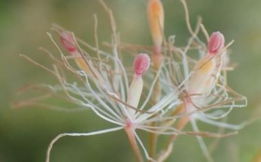 タケニグサの花
