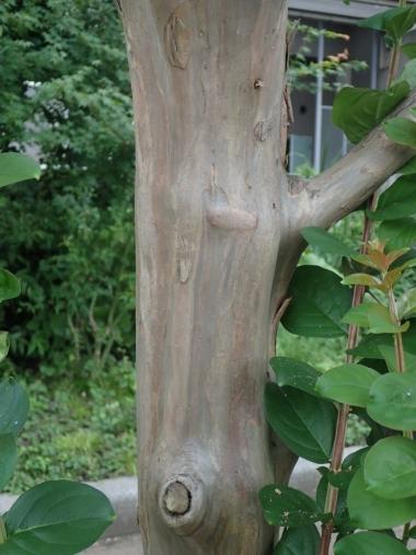 サルスベリの樹皮