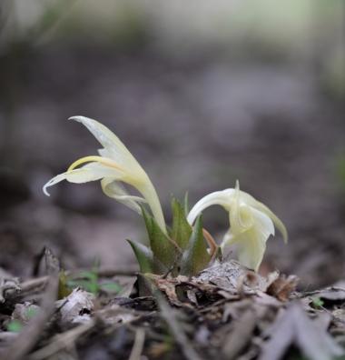 ミョウガの花