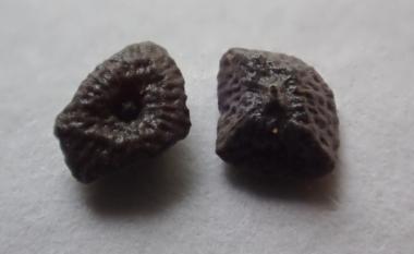 ヤブミョウガの種