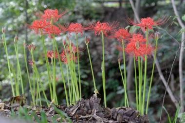 ヒガンバナの花