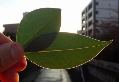 トウネズミモチとネズミモチの葉